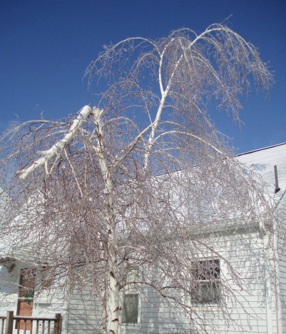 Ice_storm_broken_tree.jpg