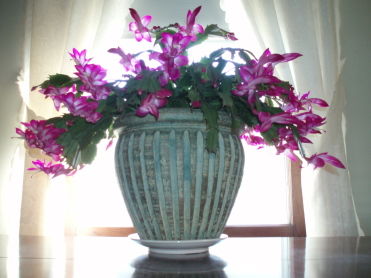 Christmas_cactus1.jpg