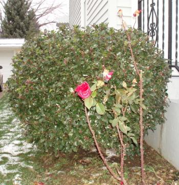 Roses_Dec1.jpg