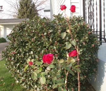 Roses_Nov1.jpg