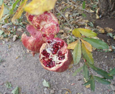 how to eat and store pomegranates
