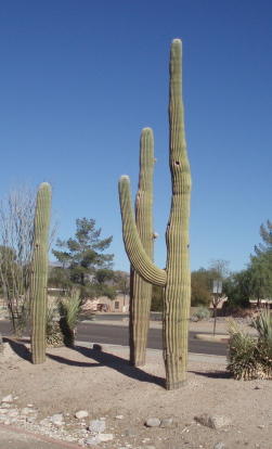 saguaros.jpg